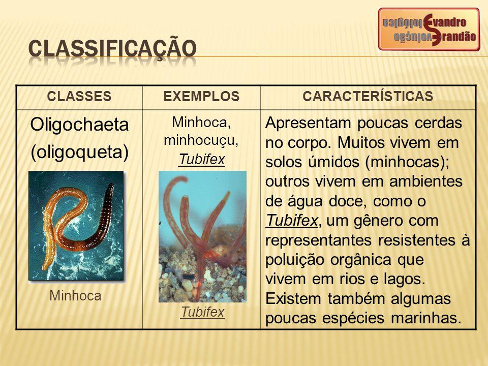 CLASSESEXEMPLOSCARACTERÍSTICAS Oligochaeta (oligoqueta) Minhoca, minhocuçu, Tubifex Apresentam poucas cerdas no corpo. Muitos vivem em solos úmidos (m