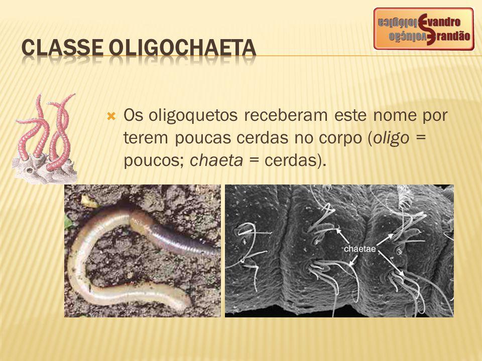  Os oligoquetos receberam este nome por terem poucas cerdas no corpo (oligo = poucos; chaeta = cerdas).