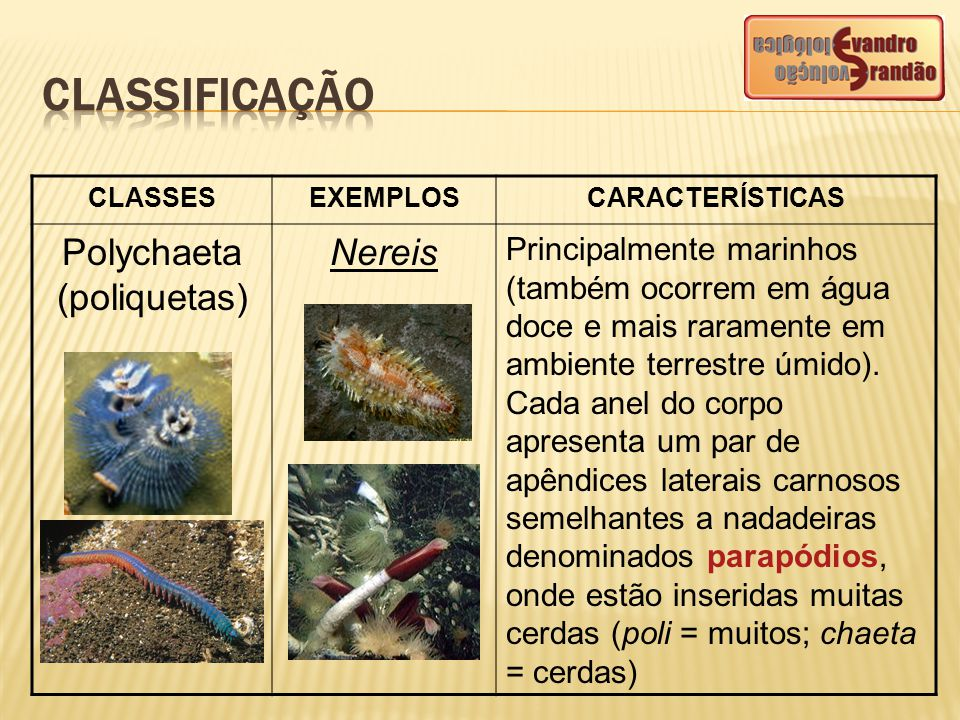 CLASSESEXEMPLOSCARACTERÍSTICAS Polychaeta (poliquetas) Nereis Principalmente marinhos (também ocorrem em água doce e mais raramente em ambiente terres