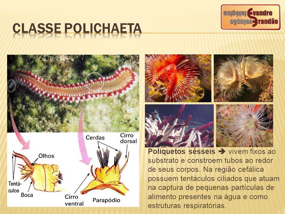 Poliquetos sésseis  vivem fixos ao substrato e constroem tubos ao redor de seus corpos. Na região cefálica possuem tentáculos ciliados que atuam na c