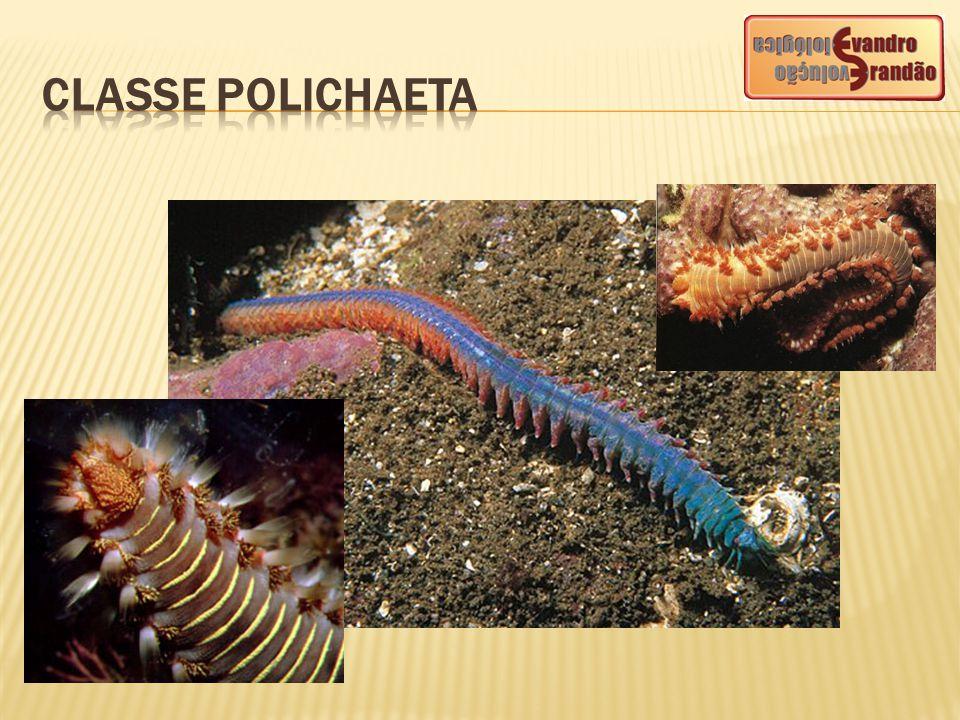 CLASSESEXEMPLOSCARACTERÍSTICAS Hirudínea (hirudíneos) Sanguessugas Ocorrem em água doce, no ambiente marinho e no ambiente terrestre úmido.
