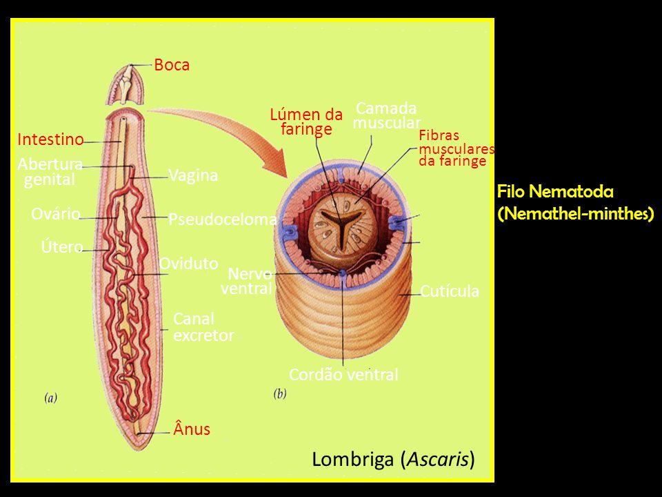 (Nemathel-minthes) Filo Nematoda (Nemathel-minthes) Lombriga (Ascaris) Cordão ventral Nervo ventral Canal excretor Lúmen da faringe Fibras musculares