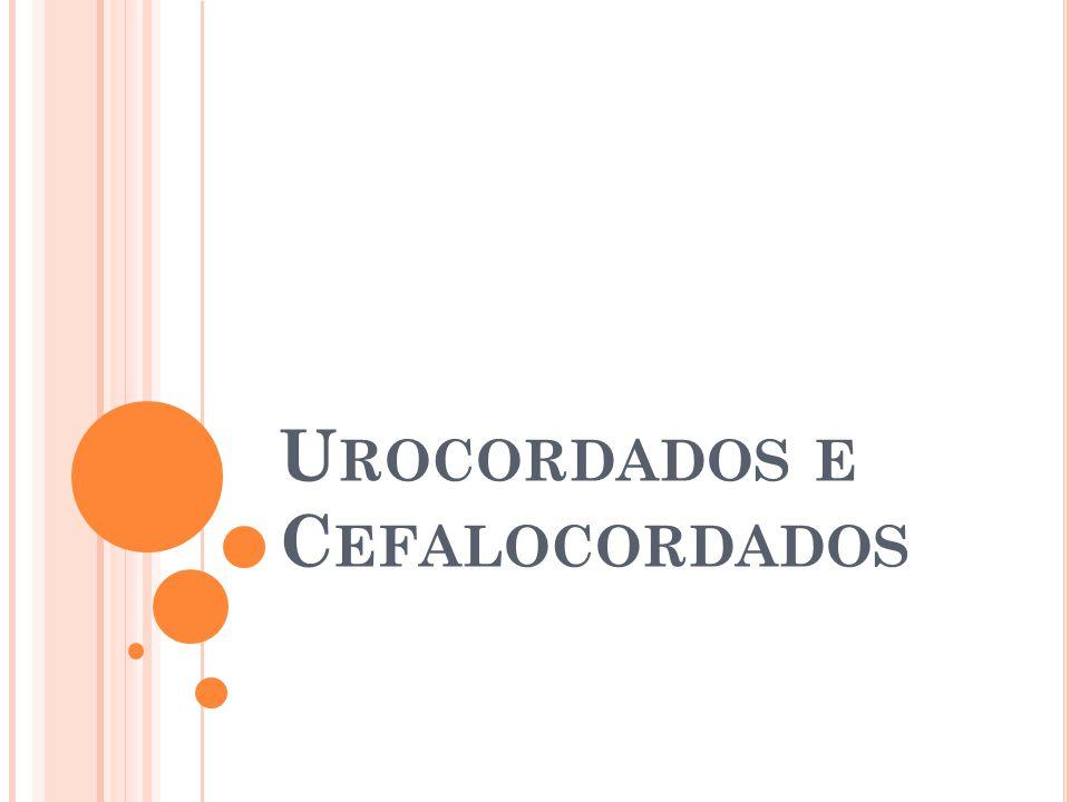 U ROCORDADOS Os urocordados (gr. oura = cauda + chorda = cordão )