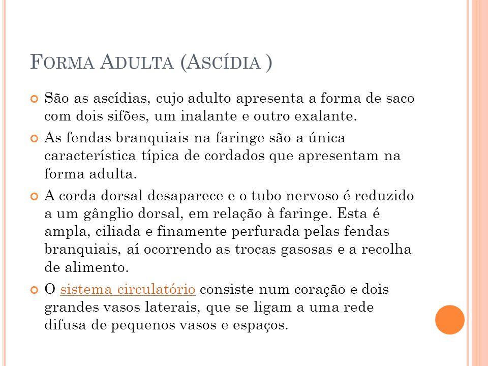 F ORMA A DULTA (A SCÍDIA ) São as ascídias, cujo adulto apresenta a forma de saco com dois sifões, um inalante e outro exalante.