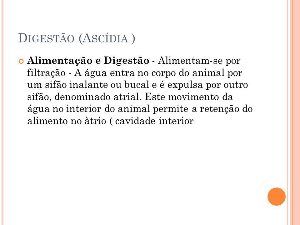 D IGESTÃO (A SCÍDIA ) Alimentação e Digestão - Alimentam-se por filtração - A água entra no corpo do animal por um sifão inalante ou bucal e é expulsa por outro sifão, denominado atrial.