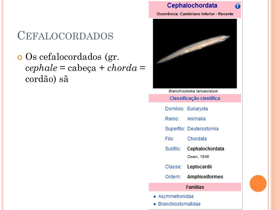 C EFALOCORDADOS Os cefalocordados (gr. c ephale = cabeça + chorda = cordão) sã