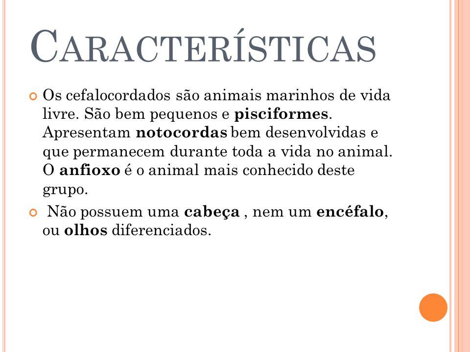 C ARACTERÍSTICAS Os cefalocordados são animais marinhos de vida livre.