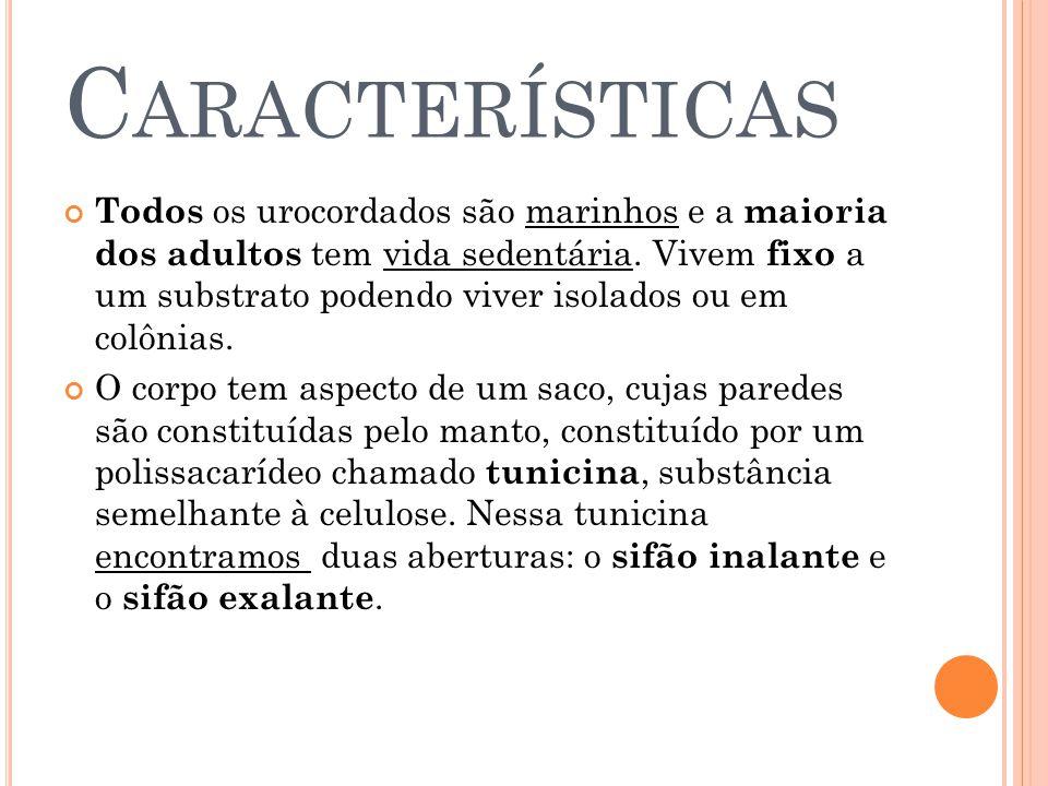 C ARACTERÍSTICAS Todos os urocordados são marinhos e a maioria dos adultos tem vida sedentária.