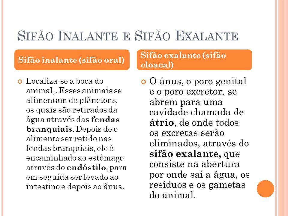 REPRODUÇÃO Os cefalocordados são dióicos, as gônadas estão dispostas lateralmente no corpo do animal, não existindo canais condutores de gametas.