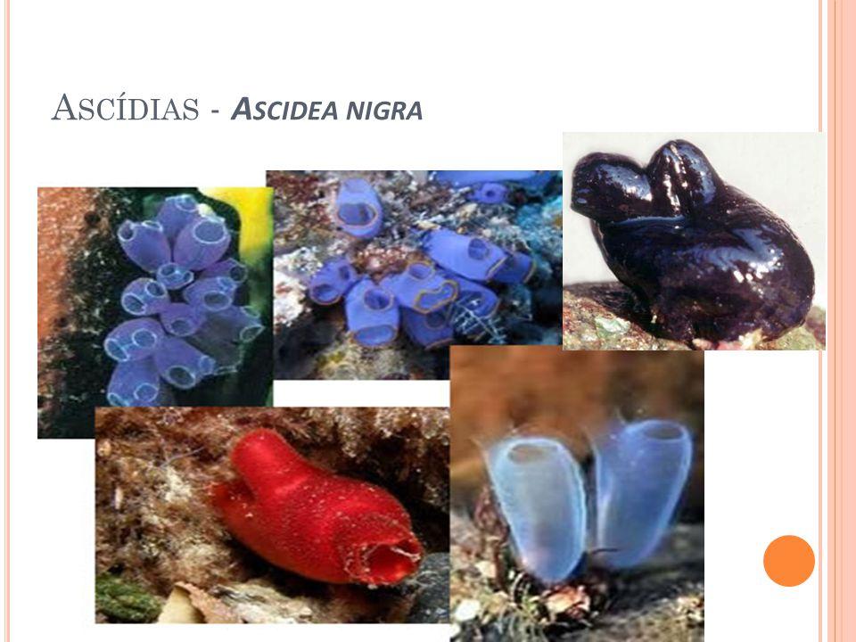 CARACTERISTICAS (A NFIOXO ) O anfioxo mede de 5 a 8 cm de comprimento, seu corpo é transparente e parecido com um peixe.