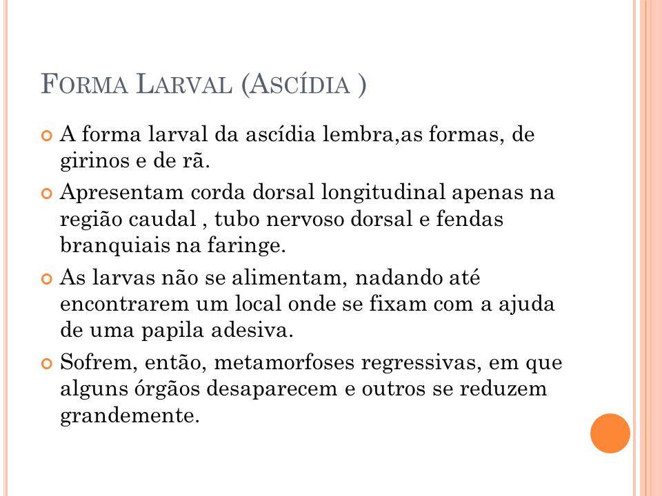 F ORMA L ARVAL (A SCÍDIA ) A forma larval da ascídia lembra,as formas, de girinos e de rã.