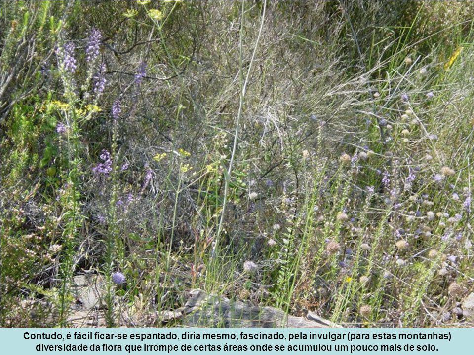 Contudo, é fácil ficar-se espantado, diria mesmo, fascinado, pela invulgar (para estas montanhas) diversidade da flora que irrompe de certas áreas onde se acumulou um pouco mais de solo.
