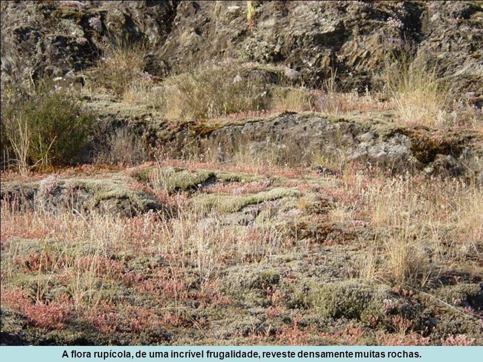 A flora rupícola, de uma incrível frugalidade, reveste densamente muitas rochas.