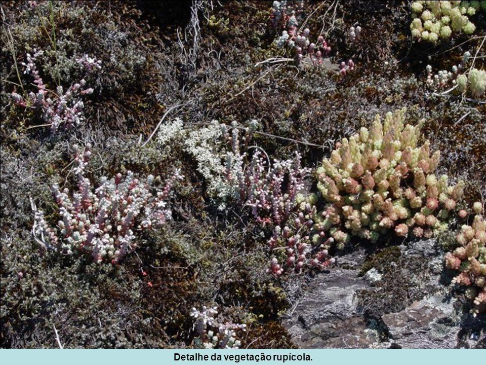 Detalhe da vegetação rupícola.