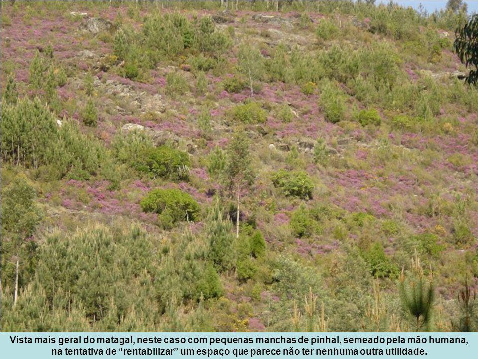 Vista mais geral do matagal, neste caso com pequenas manchas de pinhal, semeado pela mão humana, na tentativa de rentabilizar um espaço que parece não ter nenhuma outra utilidade.