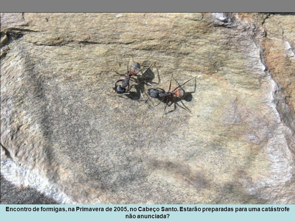Encontro de formigas, na Primavera de 2005, no Cabeço Santo.