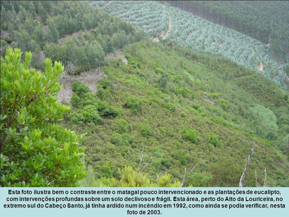 Esta foto ilustra bem o contraste entre o matagal pouco intervencionado e as plantações de eucalipto, com intervenções profundas sobre um solo declivoso e frágil.