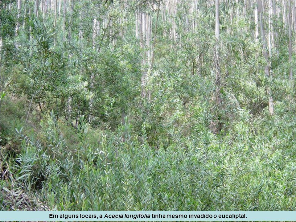 Em alguns locais, a Acacia longifolia tinha mesmo invadido o eucaliptal.