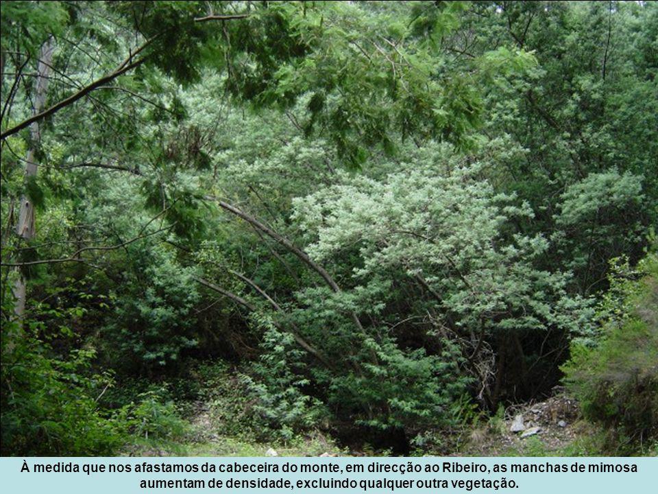 À medida que nos afastamos da cabeceira do monte, em direcção ao Ribeiro, as manchas de mimosa aumentam de densidade, excluindo qualquer outra vegetação.