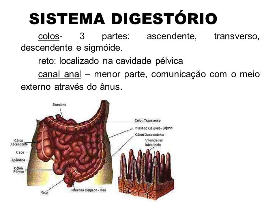 SISTEMA DIGESTÓRIO •Digestão mecânica 1.Mastigação – o alimento é reduzido a partículas menores por ação dos dentes; a língua atua misturando e empurrando o alimento 2.