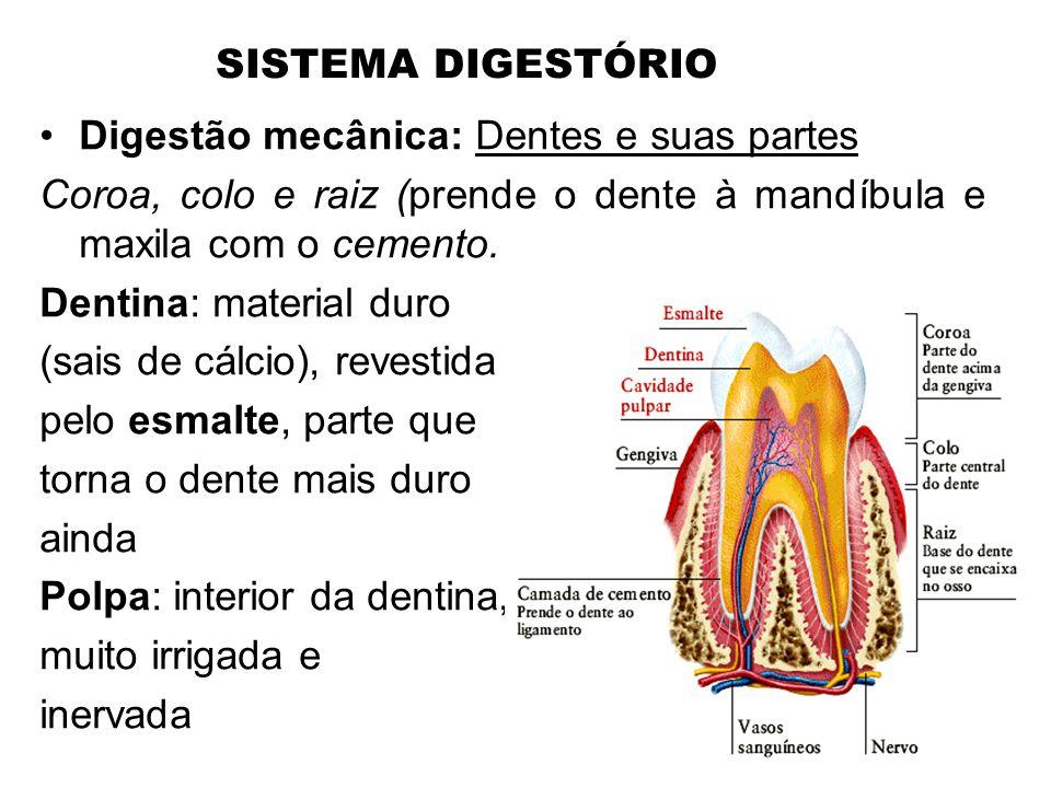 SISTEMA DIGESTÓRIO •Digestão mecânica: Dentes e suas partes Coroa, colo e raiz (prende o dente à mandíbula e maxila com o cemento. Dentina: material d