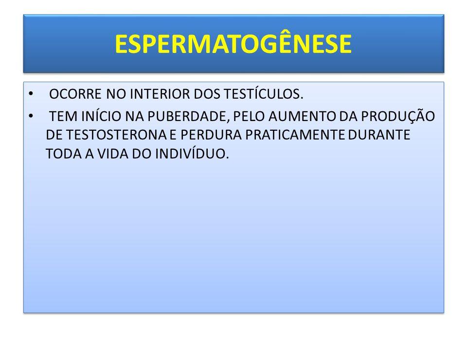 ESPERMATOGÊNESE • OCORRE NO INTERIOR DOS TESTÍCULOS.