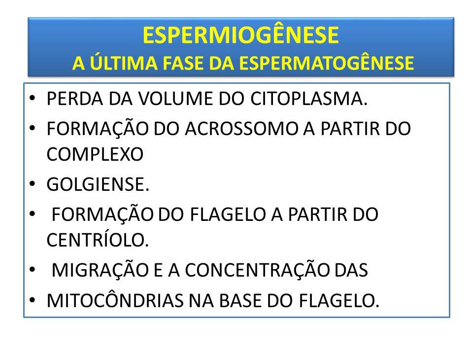 ESPERMIOGÊNESE A ÚLTIMA FASE DA ESPERMATOGÊNESE • PERDA DA VOLUME DO CITOPLASMA.