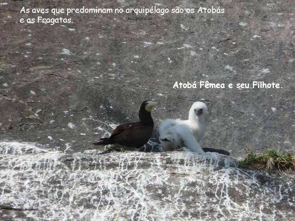 As aves que predominam no arquipélago são os Atobás e as Fragatas. Atobá Fêmea e seu Filhote.