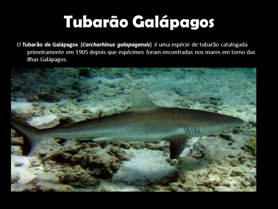 Tubarão Galápagos O Tubarão de Galápagos (Carcharhinus galapagensis) é uma espécie de tubarão catalogada primeiramente em 1905 depois que espécimes fo
