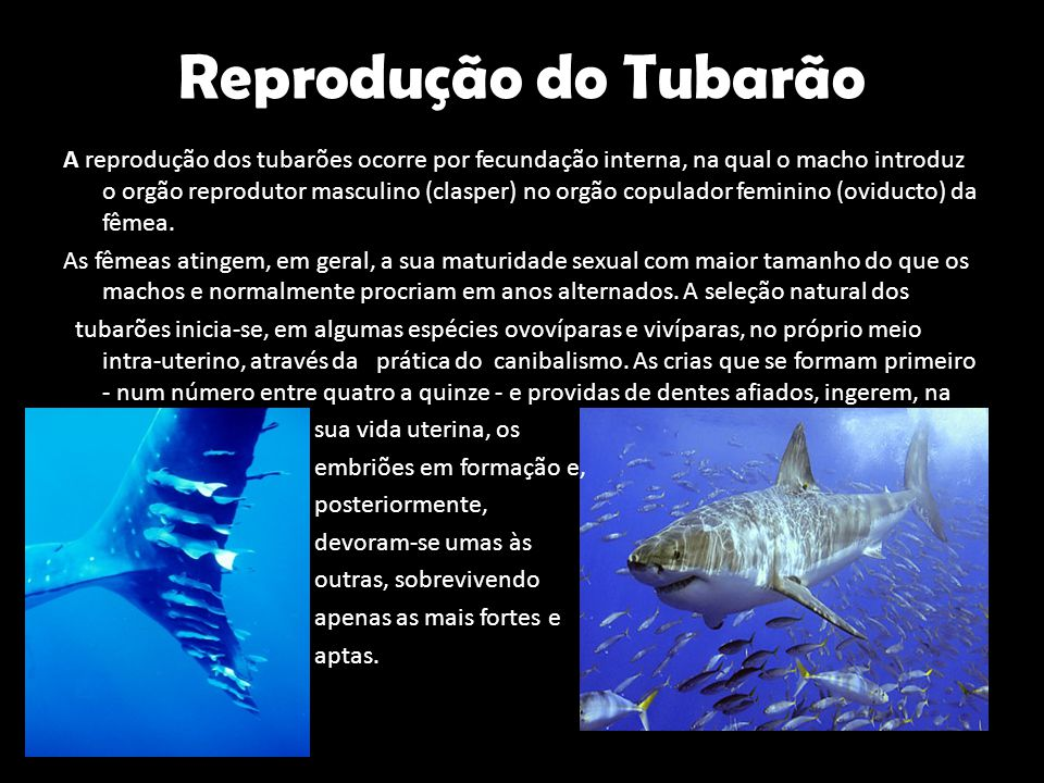 Reprodução do Tubarão A reprodução dos tubarões ocorre por fecundação interna, na qual o macho introduz o orgão reprodutor masculino (clasper) no orgã