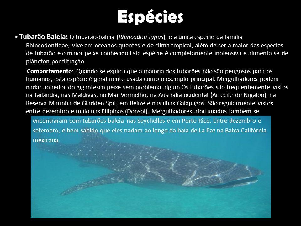 Espécies • Tubarão Baleia: O tubarão-baleia (Rhincodon typus), é a única espécie da família Rhincodontidae, vive em oceanos quentes e de clima tropica