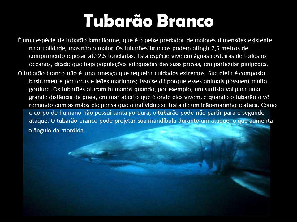 Tubarão Branco É uma espécie de tubarão lamniforme, que é o peixe predador de maiores dimensões existente na atualidade, mas não o maior. Os tubarões