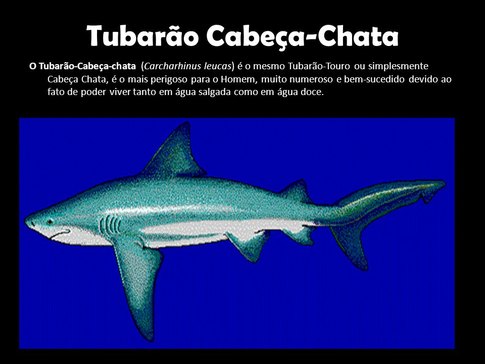Tubarão Cabeça-Chata O Tubarão-Cabeça-chata (Carcharhinus leucas) é o mesmo Tubarão-Touro ou simplesmente Cabeça Chata, é o mais perigoso para o Homem