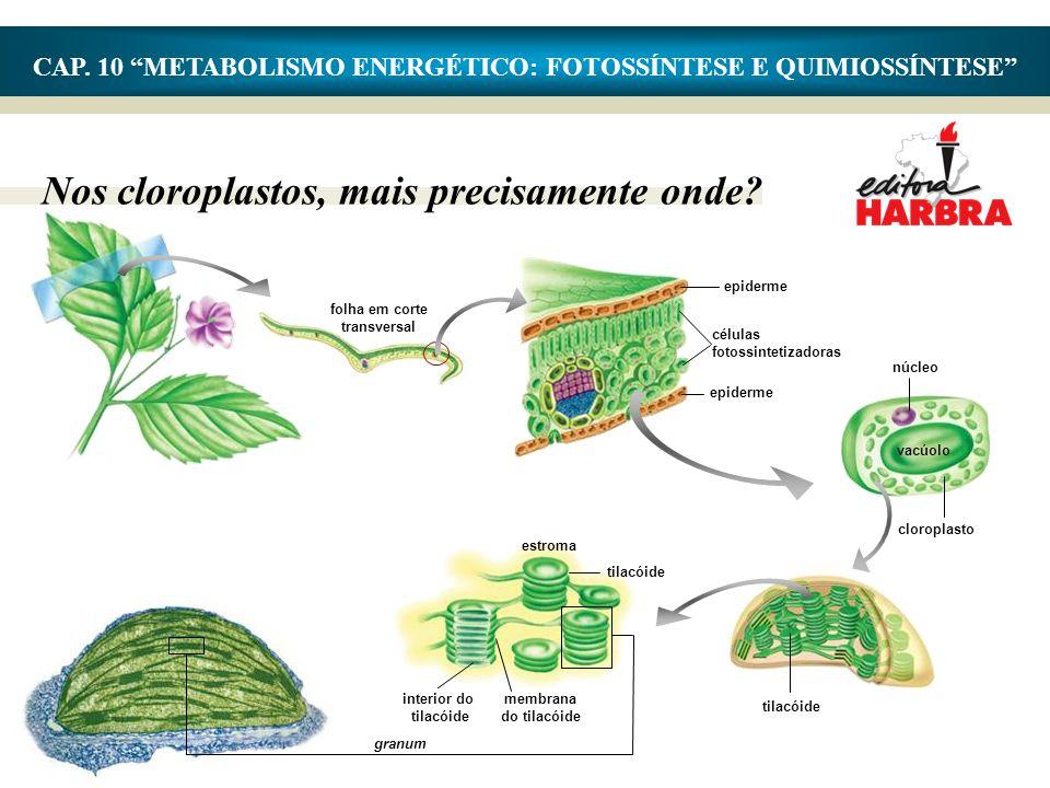 """Nos cloroplastos, mais precisamente onde? CAP. 10 """"METABOLISMO ENERGÉTICO: FOTOSSÍNTESE E QUIMIOSSÍNTESE"""" granum epiderme células fotossintetizadoras"""