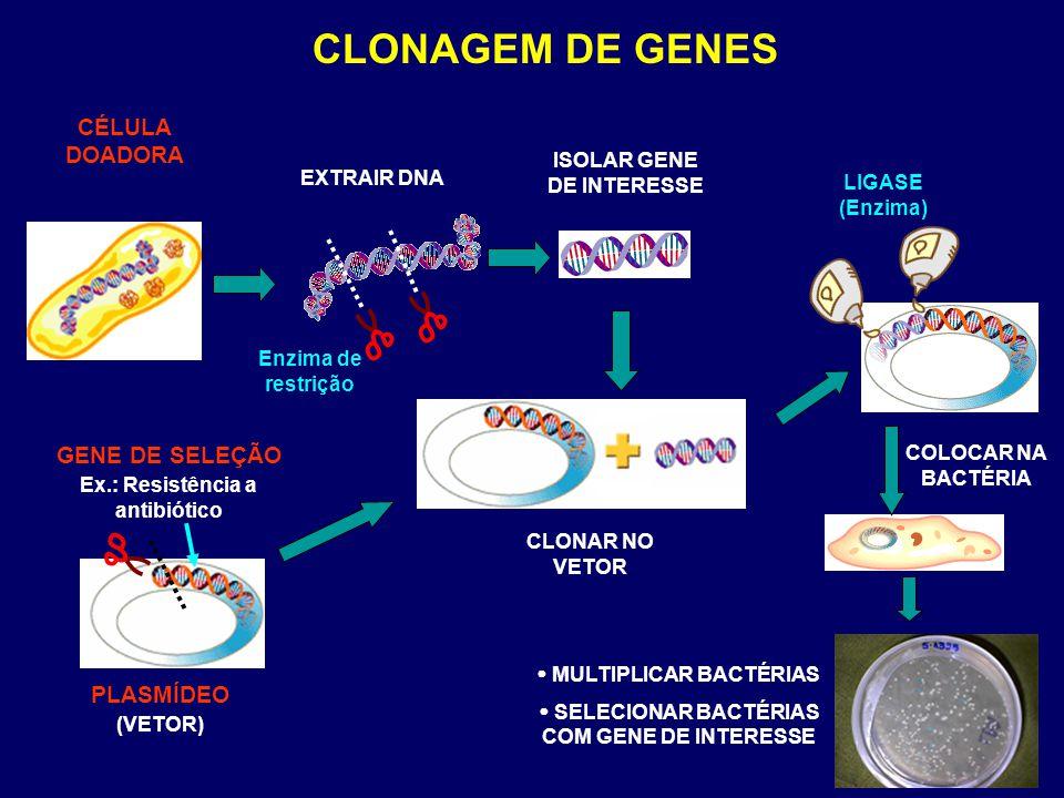 EXTRAIR DNA PLASMÍDEO (VETOR) LIGASE (Enzima) CÉLULA DOADORA CLONAGEM DE GENES ISOLAR GENE DE INTERESSE GENE DE SELEÇÃO Ex.: Resistência a antibiótico