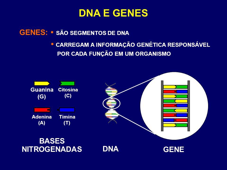 GENES:  SÃO SEGMENTOS DE DNA  CARREGAM A INFORMAÇÃO GENÉTICA RESPONSÁVEL POR CADA FUNÇÃO EM UM ORGANISMO DNA E GENES DNA GENE Guanina (G) Citosina (