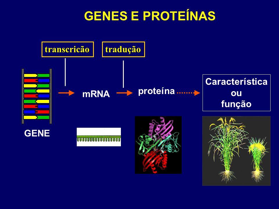 GENES E PROTEÍNAS GENE Característica ou função proteína tradução mRNA transcricão