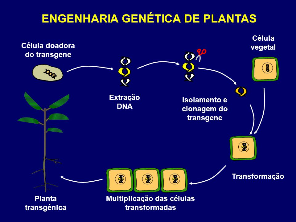 ENGENHARIA GENÉTICA DE PLANTAS Célula doadora do transgene Célula vegetal Extração DNA Isolamento e clonagem do transgene Transformação Multiplicação