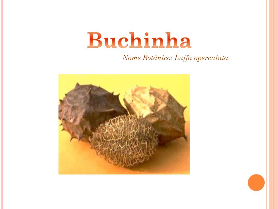 Nome Botânico: Luffa operculata