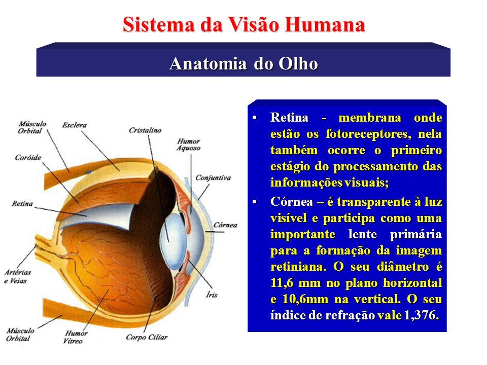 Anatomia do Olho Sistema da Visão Humana •Esclerótica - membrana rígida que serve para dar forma ao globo ocular através dos músculos externos (orbita