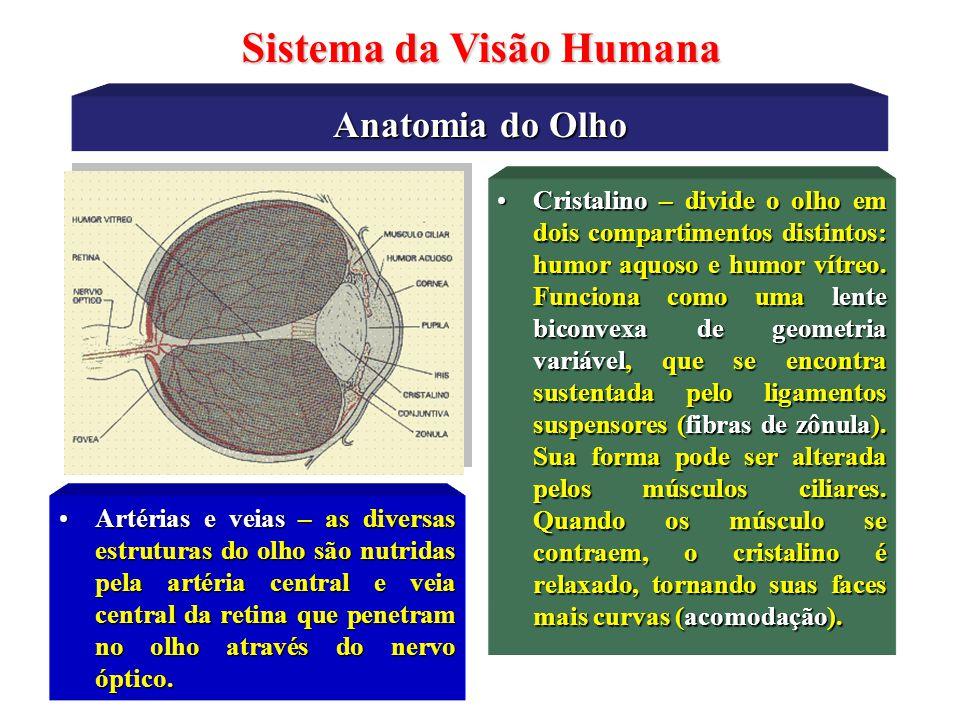 Anatomia do Olho Sistema da Visão Humana •Retina - membrana onde estão os fotoreceptores, nela também ocorre o primeiro estágio do processamento das i