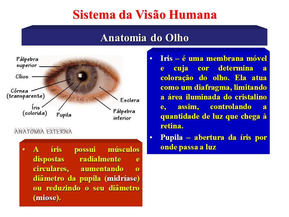 Anatomia do Olho Sistema da Visão Humana •Cristalino – divide o olho em dois compartimentos distintos: humor aquoso e humor vítreo. Funciona como uma