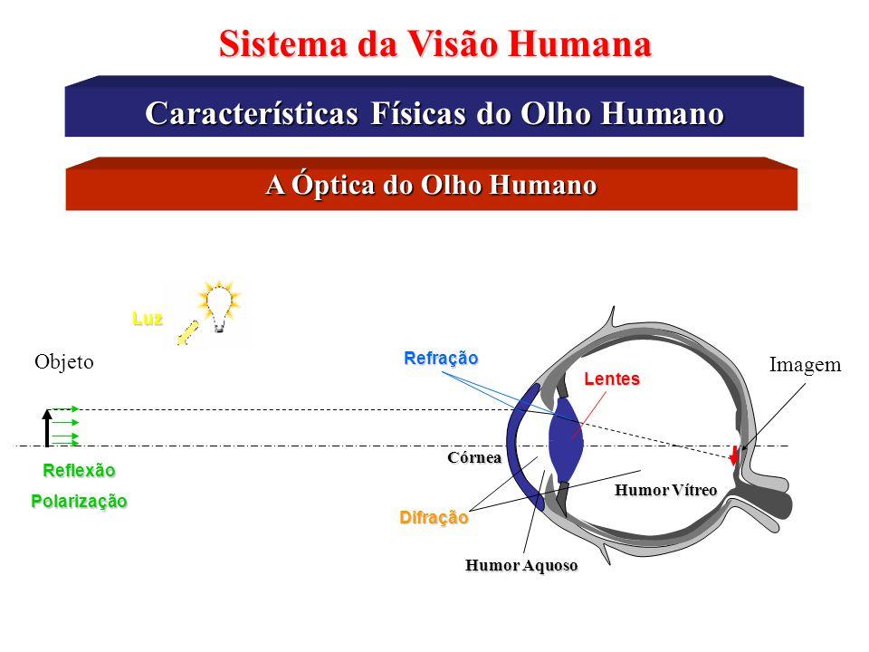 Humor aquoso Disco ótico Fóvea Retina Músculo ciliar Câmara posterior Nervo ótico e vasos retinais Córnea Pupila Cristalino Humor vítreo Íris Zônula E