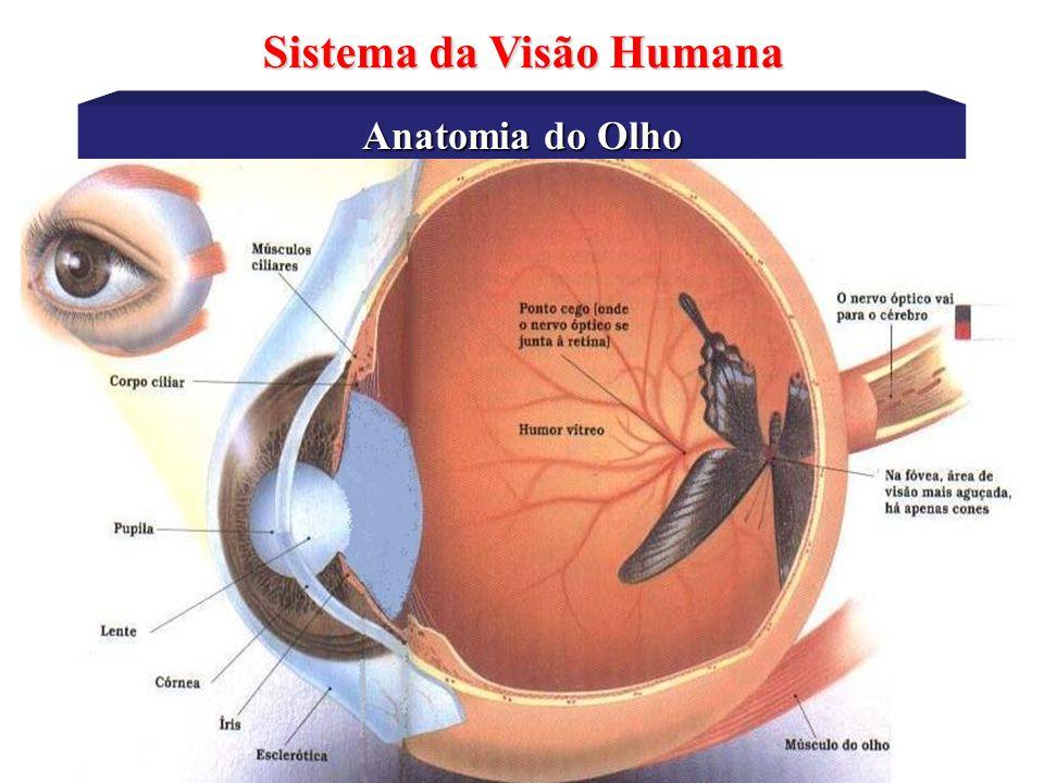 Anatomia do Olho Sistema da Visão Humana •Iris – é uma membrana móvel e cuja cor determina a coloração do olho.