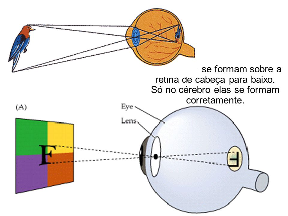 •As imagens se formam sobre a retina de cabeça para baixo.
