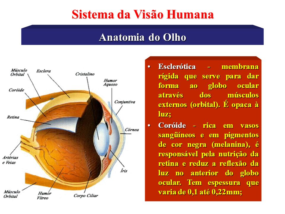 Anatomia do Olho Sistema da Visão Humana •Esclerótica - membrana rígida que serve para dar forma ao globo ocular através dos músculos externos (orbital).