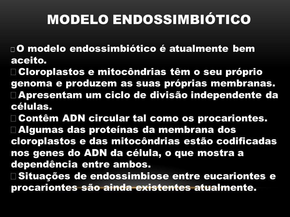 MODELO ENDOSSIMBIÓTICO  O modelo endossimbiótico é atualmente bem aceito.  Cloroplastos e mitocôndrias têm o seu próprio genoma e produzem as suas p