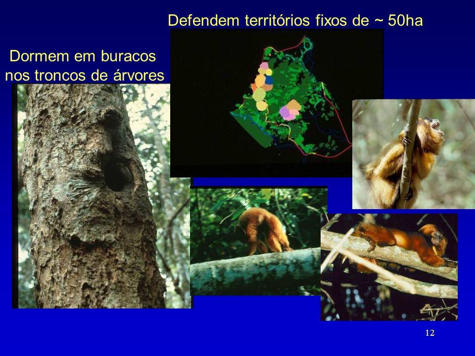 Dormem em buracos nos troncos de árvores Defendem territórios fixos de ~ 50ha 12