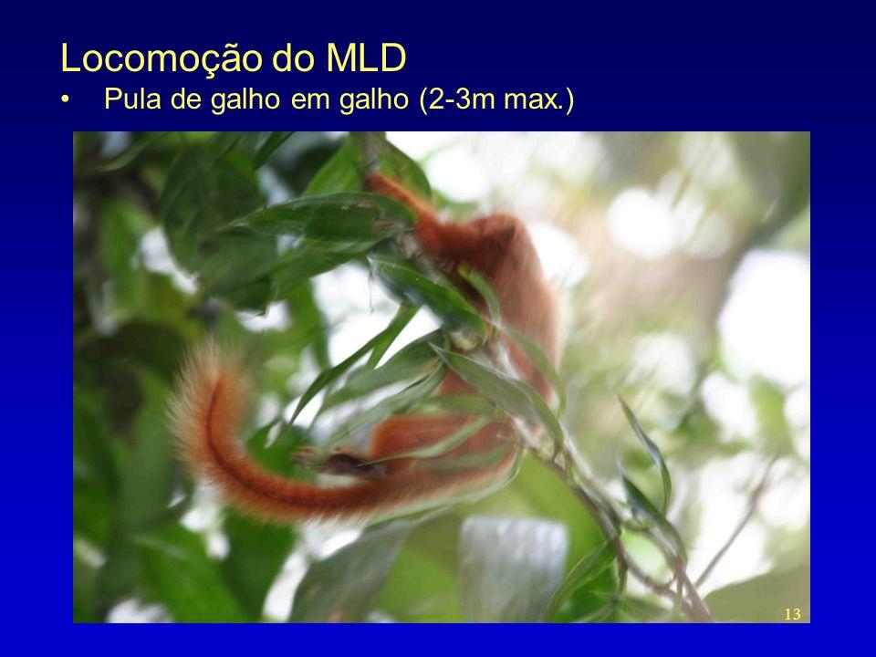 Locomoção do MLD •Pula de galho em galho (2-3m max.) 13