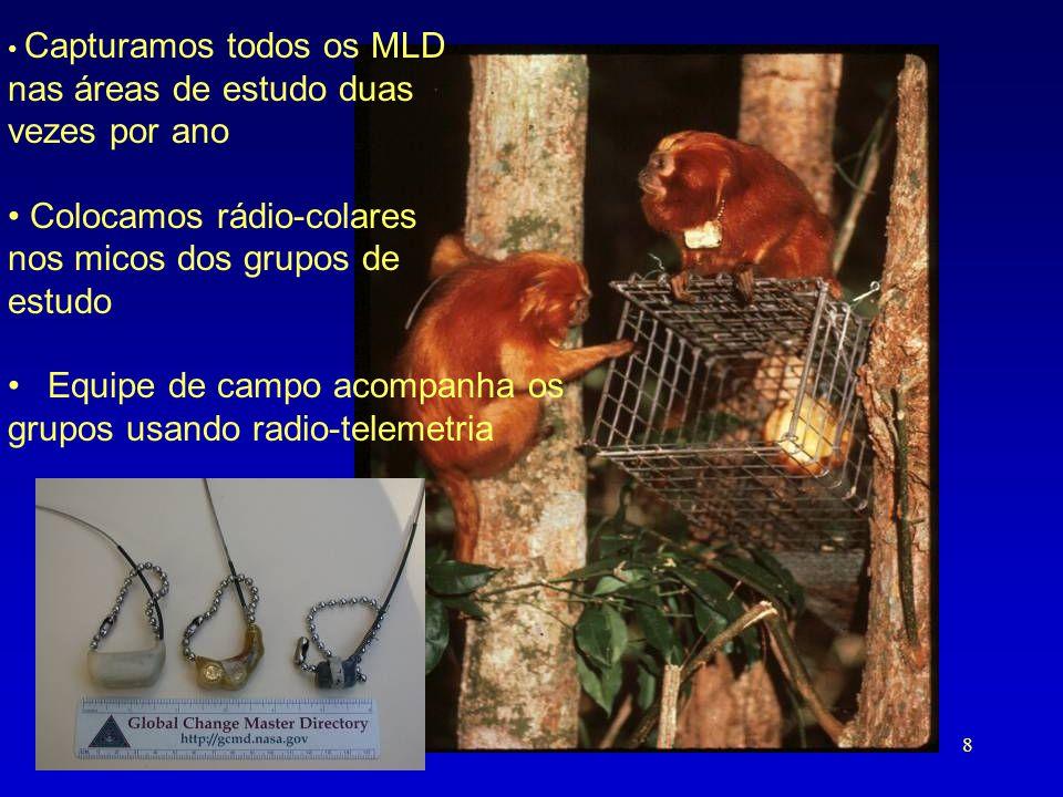 • Capturamos todos os MLD nas áreas de estudo duas vezes por ano • Colocamos rádio-colares nos micos dos grupos de estudo •Equipe de campo acompanha o